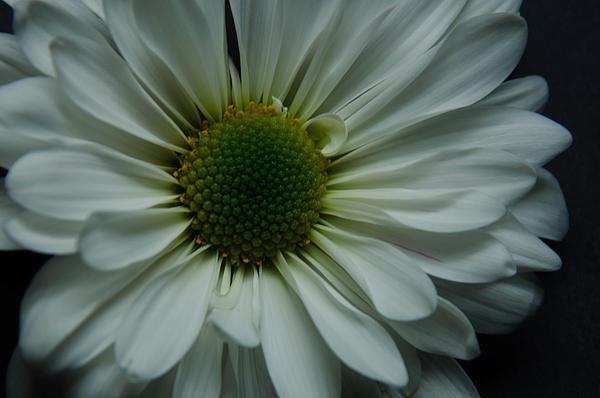 White Flower Print by Ron Smith