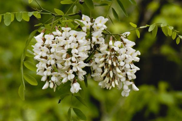 White Flowering Locust Tree Print by Warren M Gray