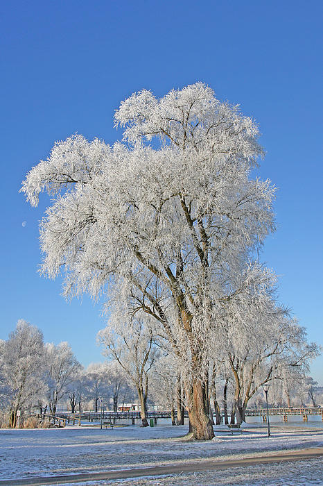 White Frost Tree Print by Ralf Kaiser