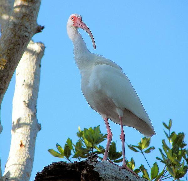 White Ibis In The Treetop Print by Judy Via-Wolff