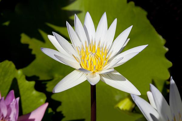 White Lotus Print by Kelley King
