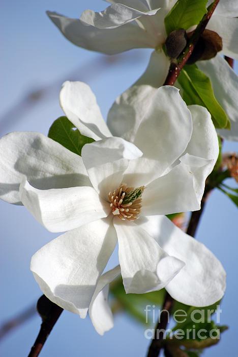 Lila Fisher-Wenzel - White Magnolia Blossom