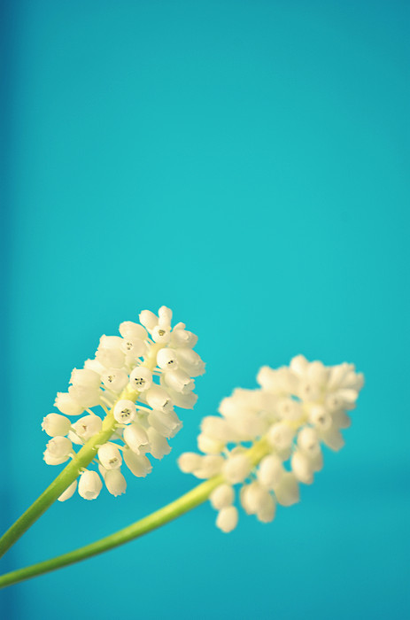 White Muscari Flowers Print by Photo by Ira Heuvelman-Dobrolyubova