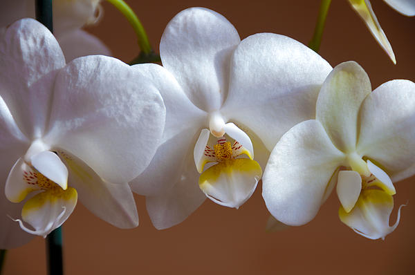 White Orchid Print by Svetlana Sewell