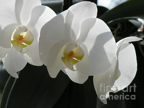 Lainie Wrightson - White Orchids