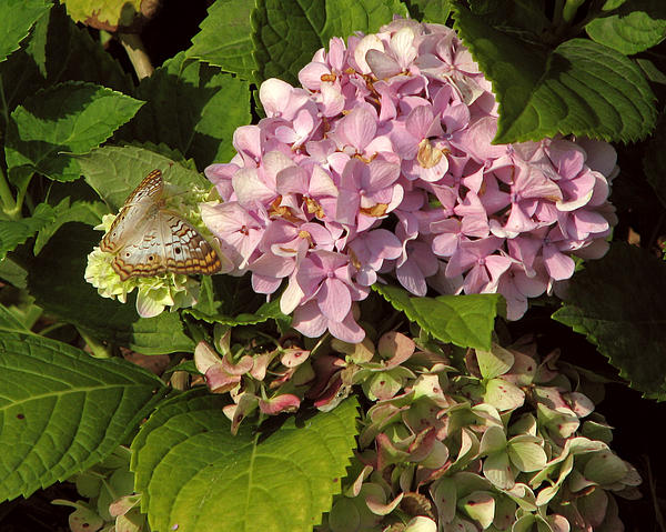 Peg Urban - White Peacock on Hydrangea
