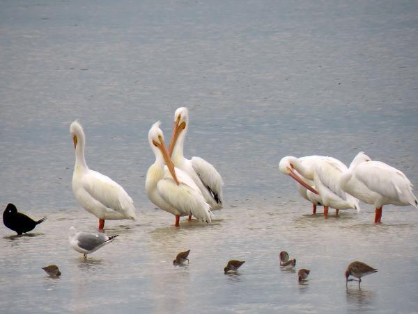 Rosalie Scanlon - White Pelicans and Friends