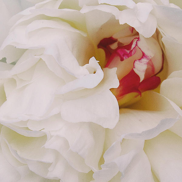 White Petals Print by Michael Peychich
