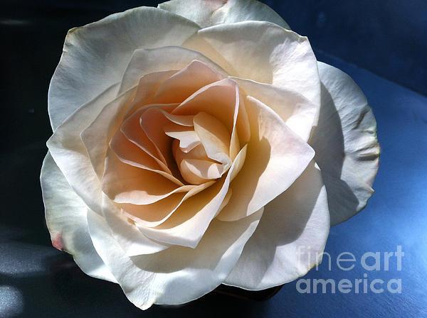 White Rose Print by Addie Hocynec