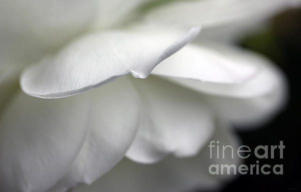 White Rose Flower Petals Print by Jennie Marie Schell