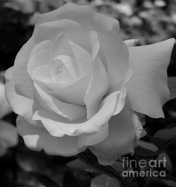 Gary Harris - White Rose