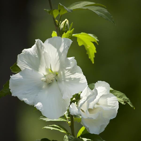 White Rose Of Sharon Squared Print by Teresa Mucha