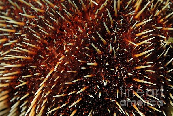 White Sea Urchin Print by Sami Sarkis