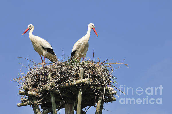 Matthias Hauser - White storks in their nest