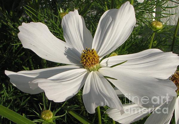 White Summer Splendor Print by Judyann Matthews