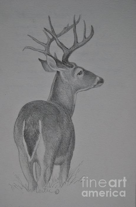 whitetail deer sketch by calvin carter