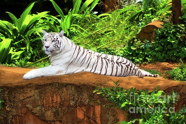 White Tiger Print by MotHaiBaPhoto Prints