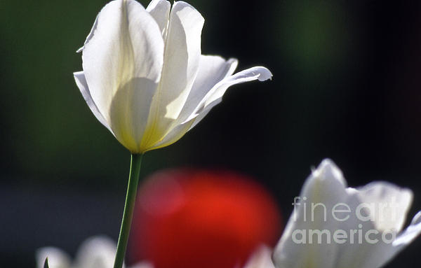 White Tulips  Blossom Print by Heiko Koehrer-Wagner