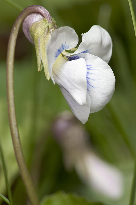Bernard Lynch - White Violet Macro