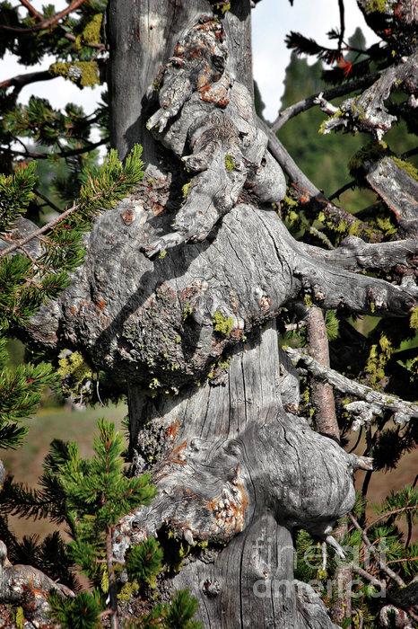 Whitebark Pine Tree - Iconic Endangered Keystone Species Print by Christine Till