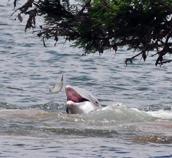 Wild Dolphin Feeding Print by Paul Ward