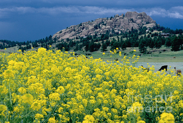 Wild Mustard Print by James Steinberg and Photo Researchers
