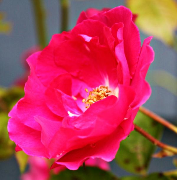 Wild Pink Rose Print by Cathie Tyler