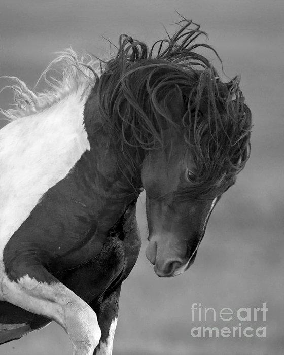 Wild Pinto Stallion Print by Carol Walker