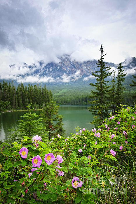 Wild Roses And Mountain Lake In Jasper National Park Print by Elena Elisseeva