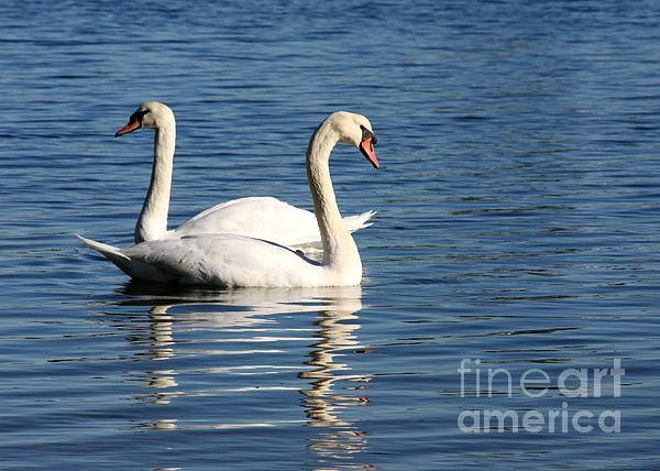 Wild Swans Print by Sabrina L Ryan