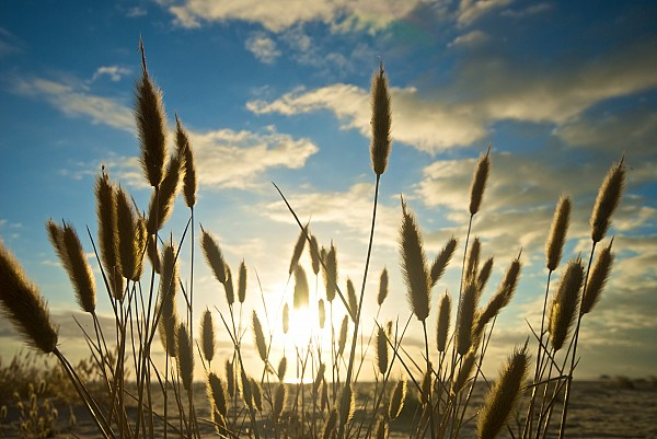 Wild Wheat Growing On The Shores Print by Brooke Whatnall