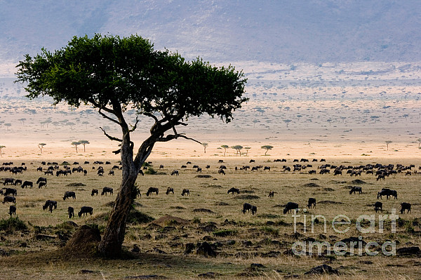Wildebeest Connochaetes Taurinus Grazing Print by Gregory G. Dimijian, M.D.