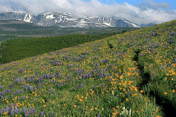 Wildflowers In The Big Horn Mountains By Mh Ramona Swift
