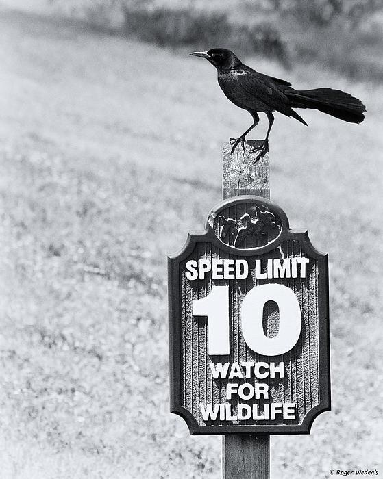 Roger Wedegis - Wildlife Watching The Speed Limit