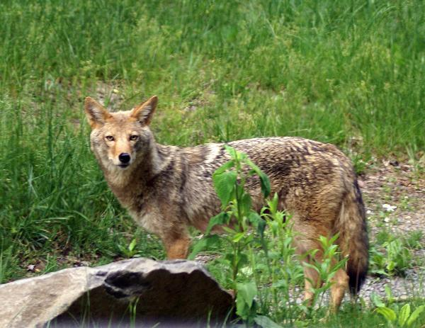 Wiley Coyote Print by Marty Koch