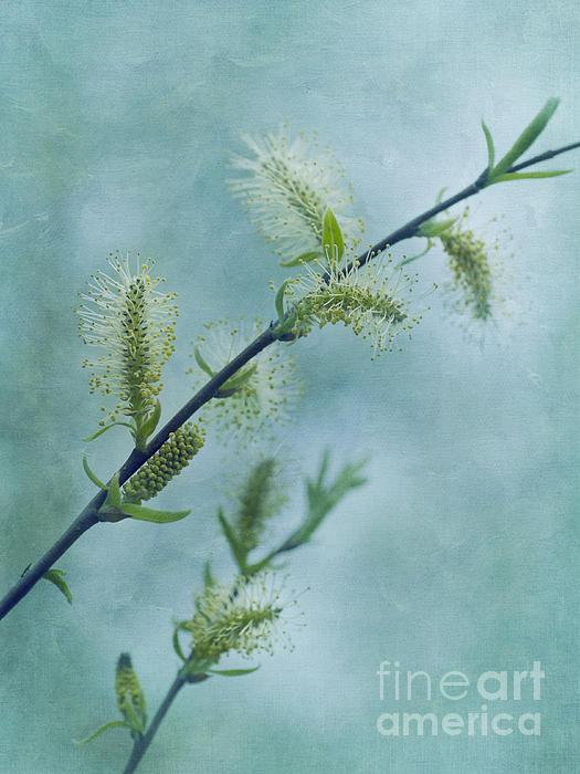 Willow Catkins Print by Priska Wettstein