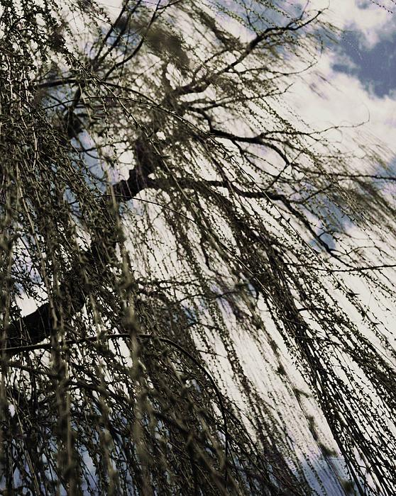 Willow Tree Print by Todd Sherlock
