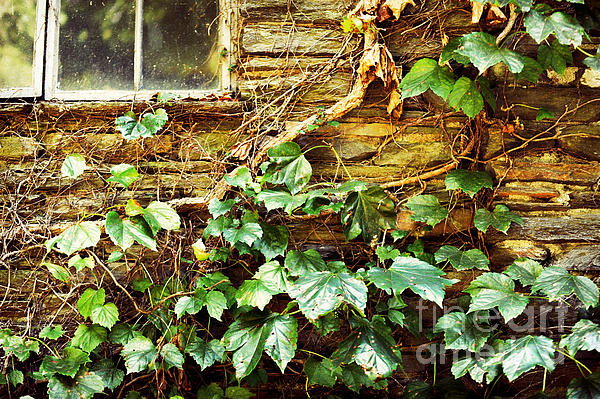 Window And Grapevines Print by HD Connelly