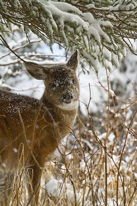 Winter Dining For A Black-tailed Deer Print by Tim Grams
