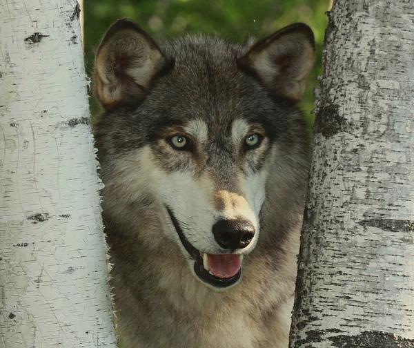 Myrna Bradshaw - Wolf in the Birch Trees