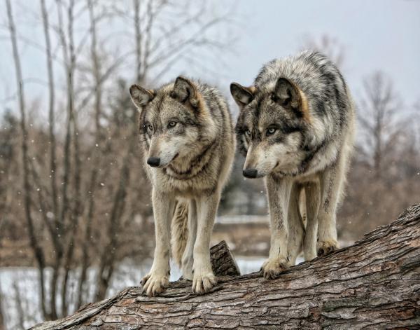 -Ranks- Wolf-pair-shari-jardina