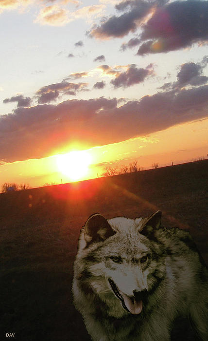 Wolf Sunset Print by Debra     Vatalaro