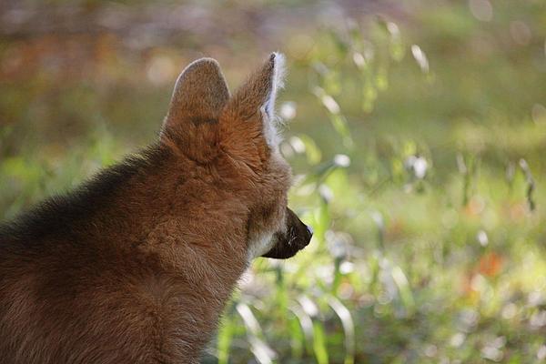 Wondering Wolf Print by Karol  Livote