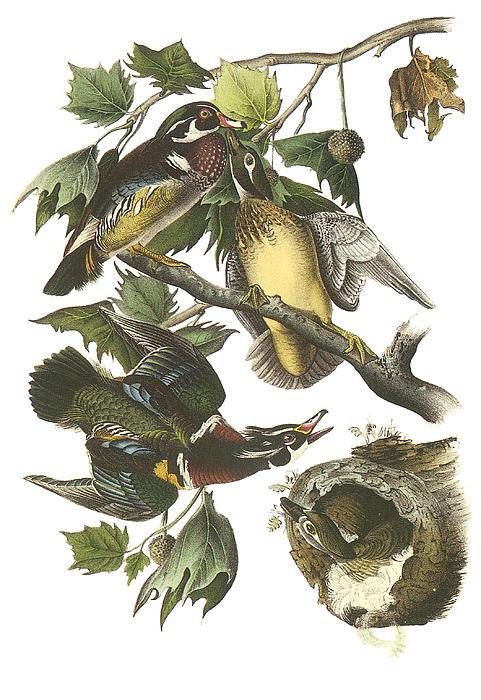 Wood Duck Print by John James Audubon
