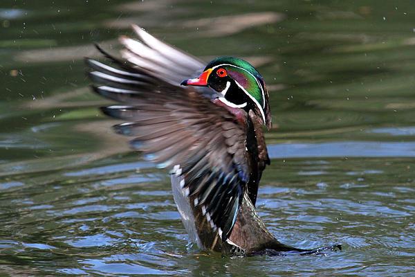 Paul Marto - Wood Duck Stretch