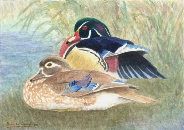 Brad Carraway - Wood Ducks Study