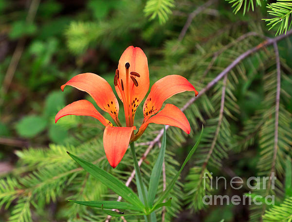Wood Lily Also Called Prairie Lily Or Western Red Lily Print by Louise Heusinkveld