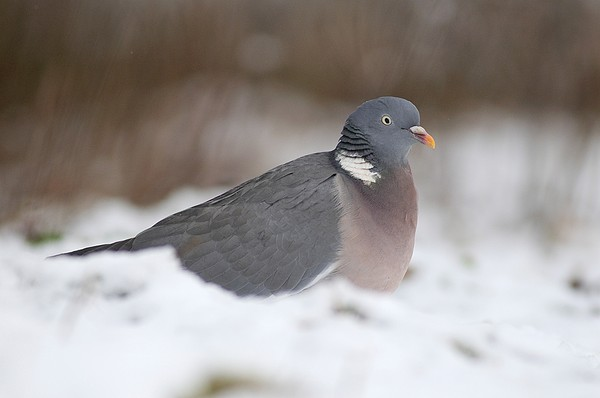 Wood Pigeon In Snow Print by Colin Varndell