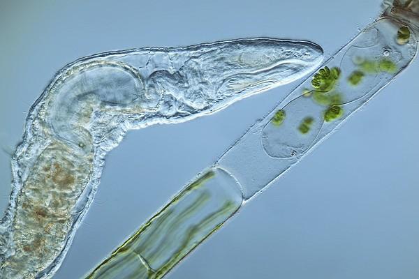 Worm Feeding On Algae, Light Micrograph Print by Frank Fox