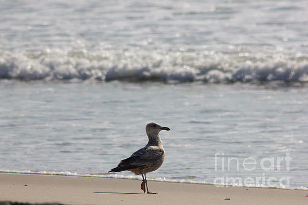 Wounded Seagull 3 Hurt Standing On One Leg Beach Photograph Art Seascape Bird Birds Beaches Sea Pics Print by Pictures HDR